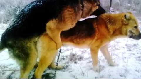 German Shepherds mating