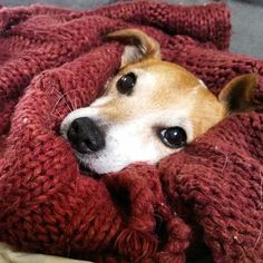 Jack Russell Terrier perhaps, wrapped in blanket