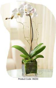 Une orchidée phalaenopsis blanche; white orchid