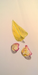 Still life with yellow leaf, rose petals, colored pencils, March 2017, by William Eaton